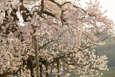 米沢の千歳桜の写真素材 [FYI02675865]