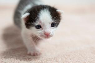 生後2週間の子猫の写真素材 [FYI02675889]