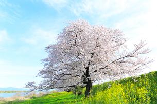 長良川と背割提のサクラ並木にナノハナの写真素材 [FYI02675985]