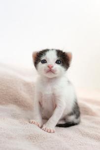 生後2週間の子猫の写真素材 [FYI02676001]