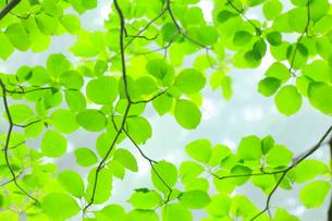 白神山地の新緑の写真素材 [FYI02676003]