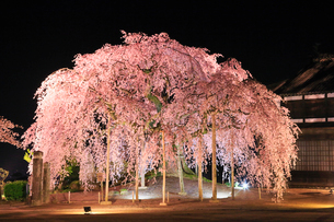 麻績の里 舞台桜のライトアップ夜景の写真素材 [FYI02676009]
