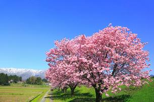 台の沢桜と朝日連峰の山並みの写真素材 [FYI02676026]