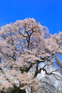 天神夫婦桜の写真素材 [FYI02676032]