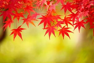 カエデの紅葉の写真素材 [FYI02676052]