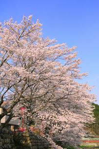 美甘宿場桜の写真素材 [FYI02676055]