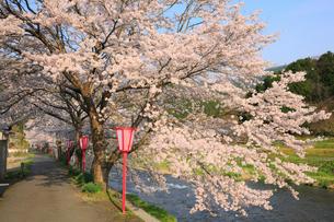 美甘宿場桜の写真素材 [FYI02676059]