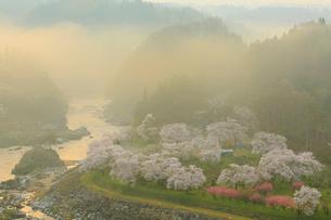 島山公園のサクラ 朝日に染まる雲海の写真素材 [FYI02676075]