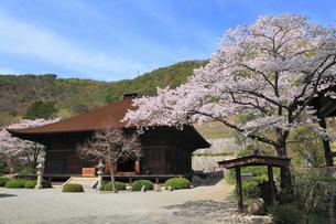 柏尾山大善寺の本堂とサクラの写真素材 [FYI02676087]