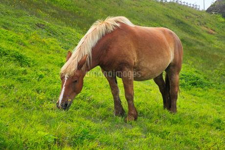 尻屋崎の寒立馬の写真素材 [FYI02676109]