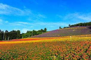 中富良野フラワーパークの花畑の写真素材 [FYI02676116]
