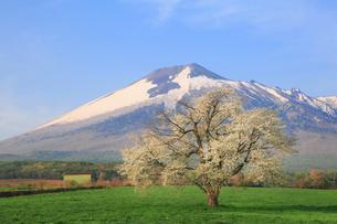 八幡平 上坊牧野の一本桜と岩手山の写真素材 [FYI02676119]