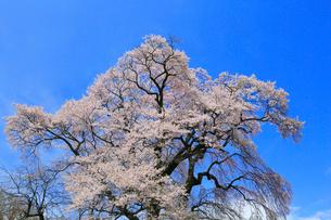天神夫婦桜の写真素材 [FYI02676126]
