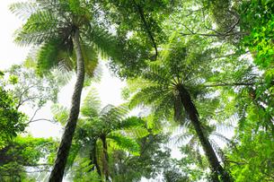 奄美大島 金作原原生林のヒカゲヘゴの写真素材 [FYI02676157]
