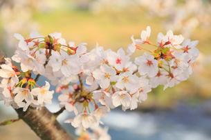 美甘宿場桜の写真素材 [FYI02676160]