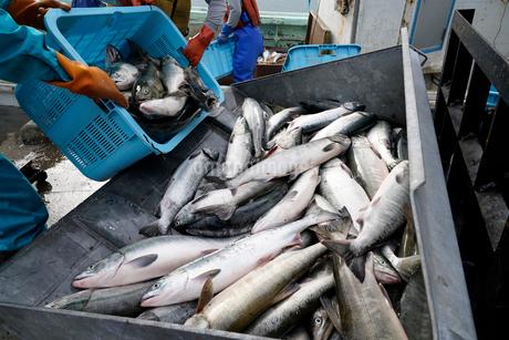 鮭漁のイメージ写真の写真素材 [FYI02676182]