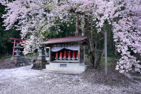 福島会津薬王寺の桜の写真素材 [FYI02676212]