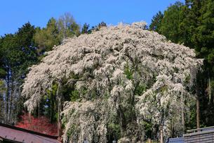 内出の桜の写真素材 [FYI02676214]
