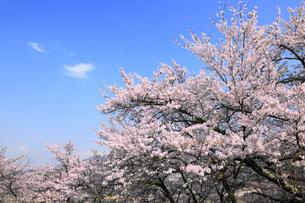 大法師山公園のサクラの写真素材 [FYI02676252]