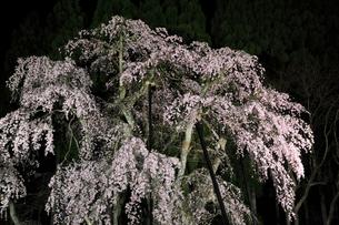 坪井のシダレザクラ ライトアップ夜景の写真素材 [FYI02676269]