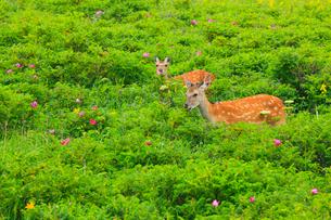 野付半島 花畑とエゾシカの写真素材 [FYI02676279]