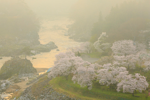 島山公園のサクラ 朝日に染まる雲海の写真素材 [FYI02676283]