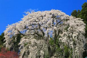 内出の桜の写真素材 [FYI02676290]