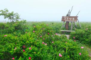 野付半島・トドワラ 霧の花畑の写真素材 [FYI02676294]