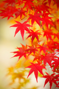 カエデの紅葉の写真素材 [FYI02676318]