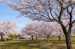 大島小松川公園の桜の写真素材 [FYI02676335]