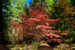 マッケンジーリバー付近の紅葉する木の写真素材 [FYI02676342]