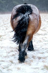 真冬の寒立馬の写真素材 [FYI02676351]