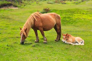 尻屋崎の寒立馬の写真素材 [FYI02676354]