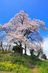 天神夫婦桜の写真素材 [FYI02676363]