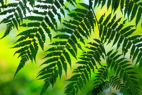 奄美大島 金作原原生林のヒカゲヘゴの写真素材 [FYI02676412]