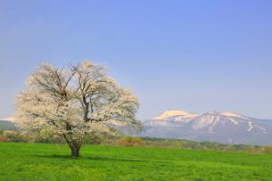八幡平 上坊牧野の一本桜の写真素材 [FYI02676433]