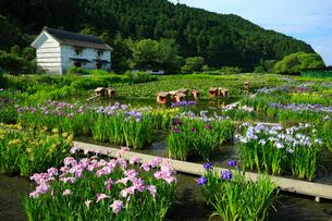 加茂荘花鳥園のハナショウブ園の写真素材 [FYI02676485]