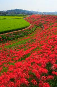 矢勝川の彼岸花の写真素材 [FYI02676507]