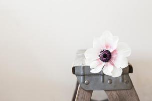 ビンテージの脚立に乗せた一輪のアネモネの写真素材 [FYI02676530]