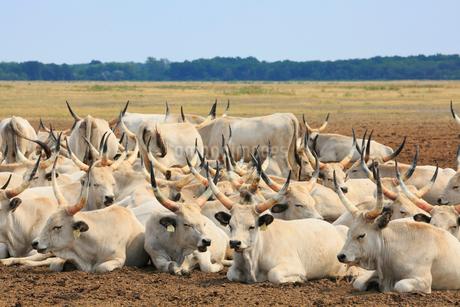 ホルトバージ国立公園の灰色牛の写真素材 [FYI02676537]