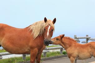 尻屋崎の寒立馬の写真素材 [FYI02676572]