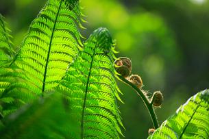 奄美大島 金作原原生林のヒカゲヘゴの写真素材 [FYI02676602]