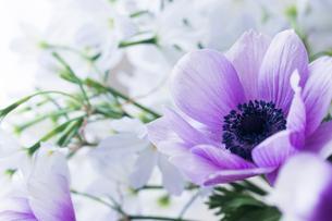 紫色の小さなアネモネの写真素材 [FYI02676634]