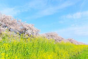 木曽長良背割提のサクラ並木とナノハナの写真素材 [FYI02676649]