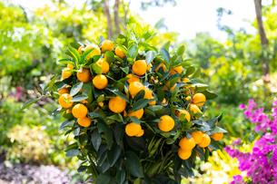 旧正月(春節)の飾り、ミカンの木の写真素材 [FYI02676698]