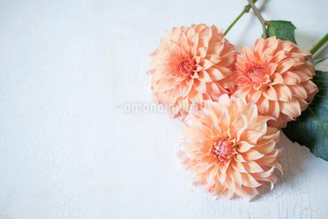白い板の上のオレンジ色のダリアの置き花の写真素材 [FYI02676743]