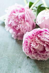 シャビーな板に無造作に置かれたピンクの芍薬の写真素材 [FYI02676759]