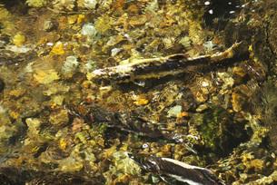 ペレケ川のサケの遡上の写真素材 [FYI02676770]