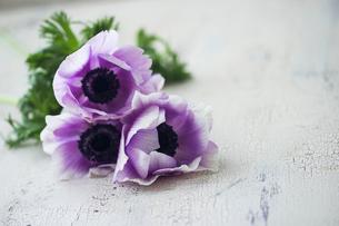 紫色の小さなアネモネの写真素材 [FYI02676832]