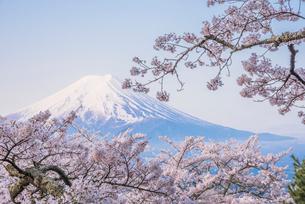 新倉山浅間公園 桜と富士山の写真素材 [FYI02676998]